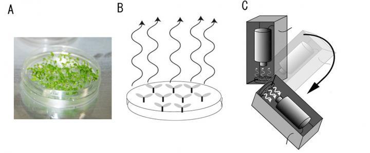 L'immagine A è un piatto di coltura di piantine di Arabidopsis per lo studio Plant Gravity Sensing. L'immagine B illustra l'emissione di fotoni dalle piante quando vengono ruotate e quando le concentrazioni di ioni di calcio aumentano. L'immagine C illustra l'apparecchiatura per impianti rotanti e i rilevatori di emissioni di fotoni. Crediti: JAXA/Hitoshi Tatsumi