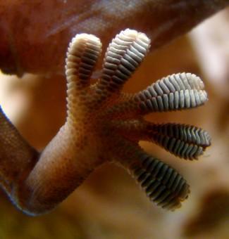 I ricercatori del NASA JPL si sono ispirati alle zampe dei gechi per la progettazione di un sistema di presa in assenza di gravità. Proprio come in natura, i nuovi dispositivi sfruttano piccole strutture adesive per ancorarsi agli oggetti. Crediti: Wikimedia Commons.