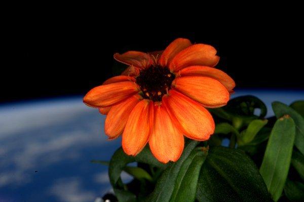 Il fiore di Zinnia