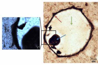 Micrografie ottiche del fossile di un protista. La mappatura Raman è stata effettuata a basso ingrandimento su tutto il fossile (pannello a destra) e ad alto ingrandimento (a sinistra). Indicate da frecce: la parete cellulare (rosso), il contenuto della cellula collassato (blu) e la sedimentazione di quarzo (verde). Crediti: Ferralis et al. 2016